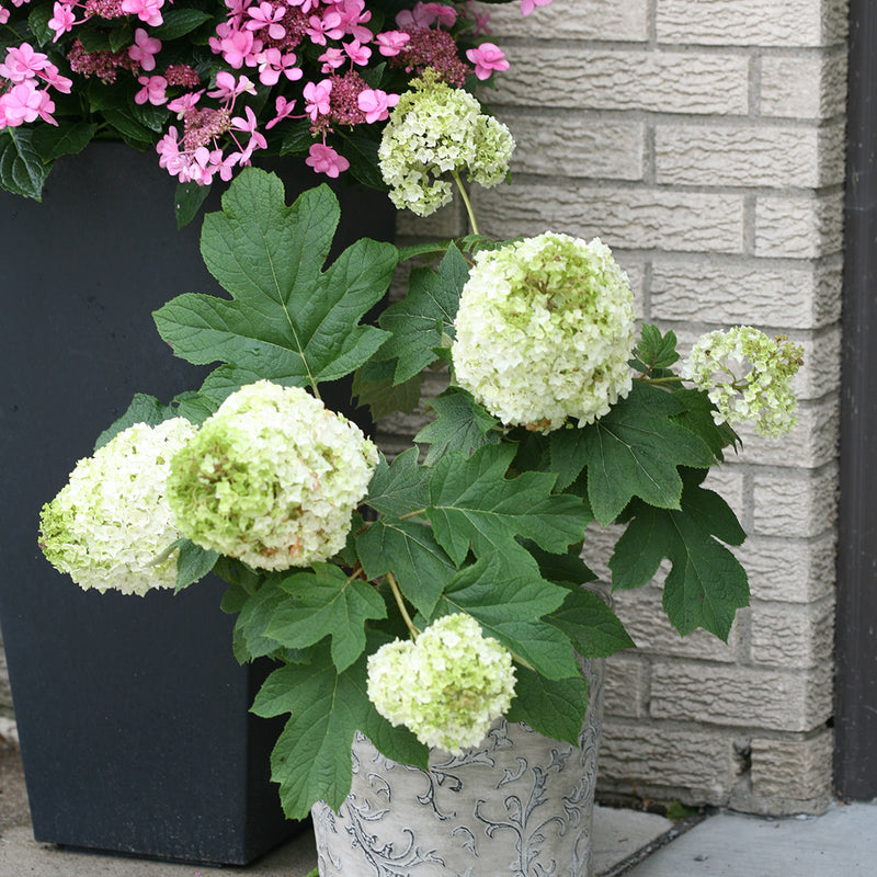Gatsby Moon oakleaf hydrangea being grown in a grey decorative container.