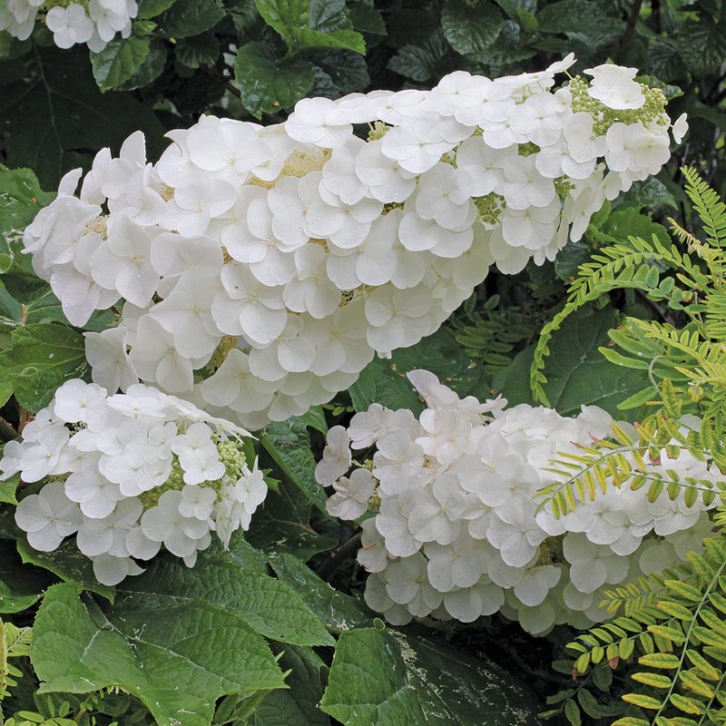 The big white flower panicles of Gatsby Pink oakleaf hydrangea prior to turning pink.