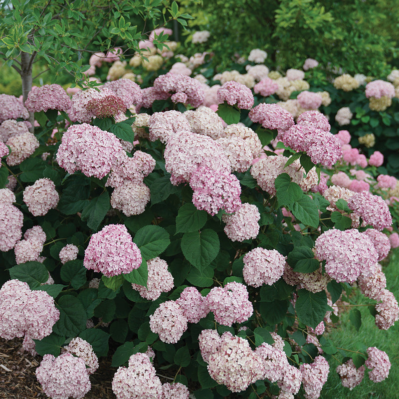 A flower covered specimen of Incrediball Blush hydrangea.