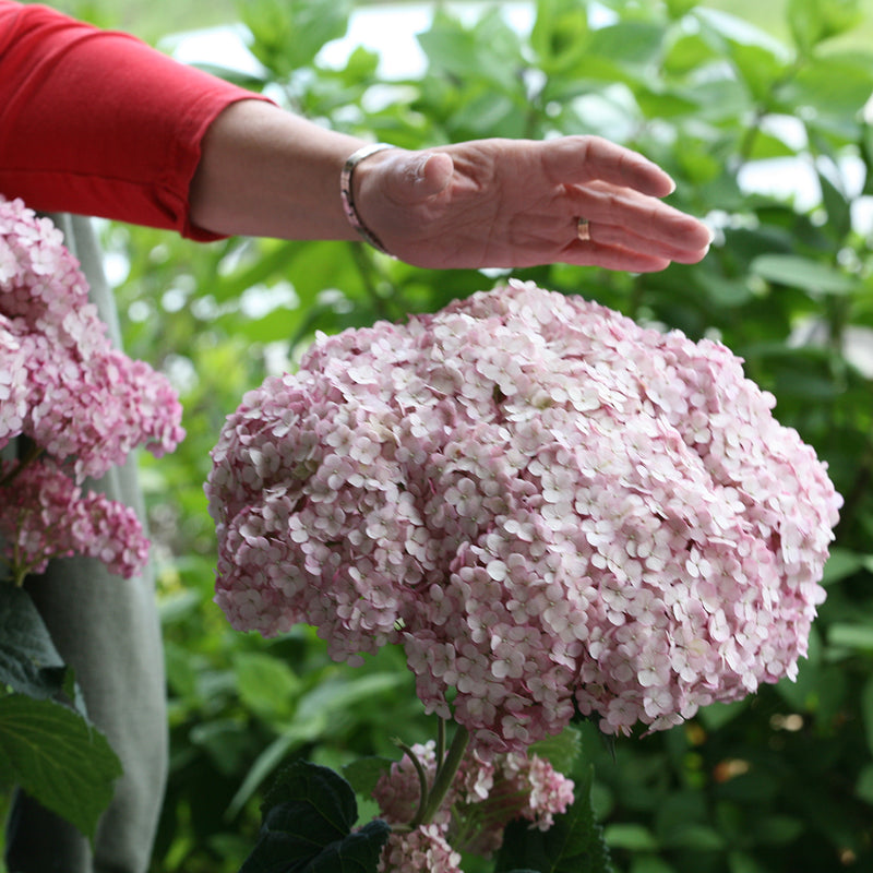 Incrediball Blush hydrangea has very large flower heads, so here , a woman's hand reaches toward the bloom to show its size.