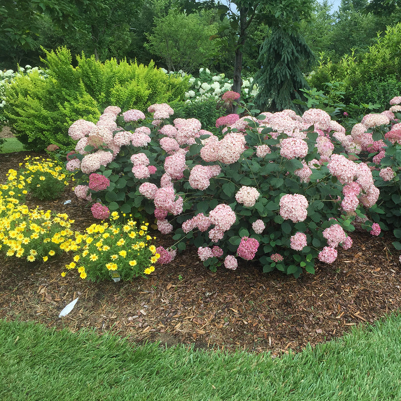 A specimen of Incrediball Blush hydrangea blooming in a garden surrounded by yellow daisies.