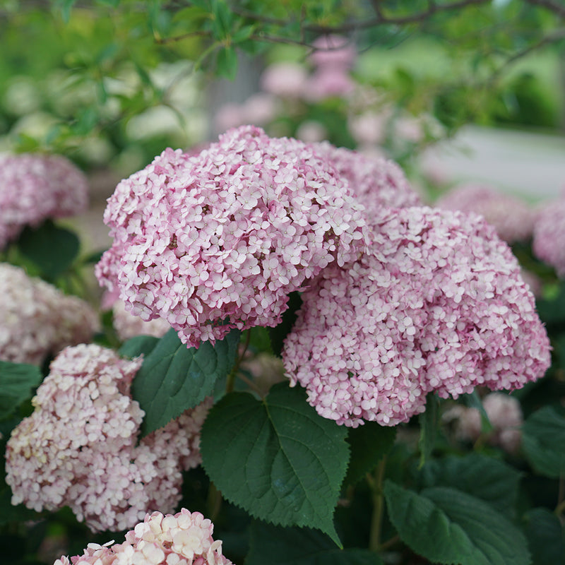 A closeup look at the silvery pink blooms and dark green foliage of Incrediball Blush hydrangea.