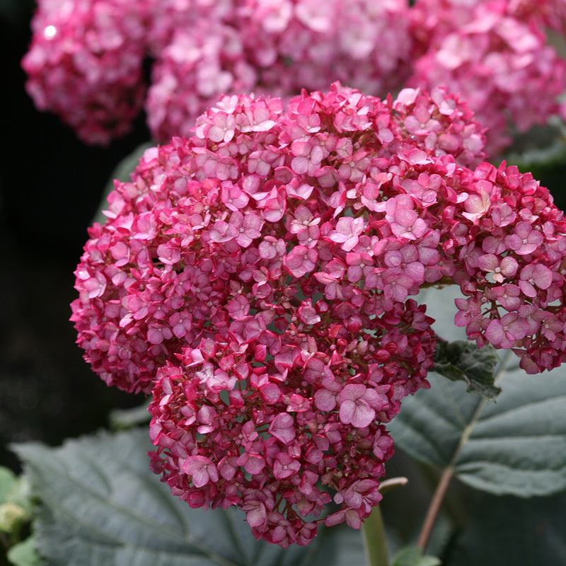 A closeup look at the flowers of Invincibelle Ruby smooth hydrangea which plainly shows the interesting two toned effect, with pink on top and red on the bottom of the petals.