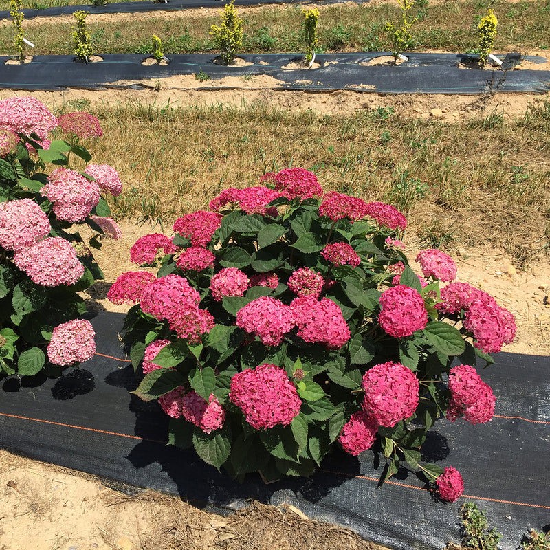 Invincibelle Ruby smooth hydrangea being trialed in a field and showing its outstanding color and bloom set.