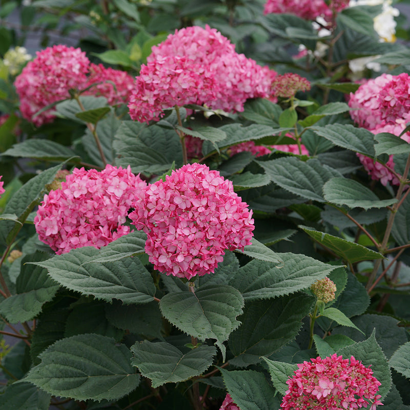 Invincibelle Ruby smooth hydrangea flowers are a vivid red-pink against dark green foliage.