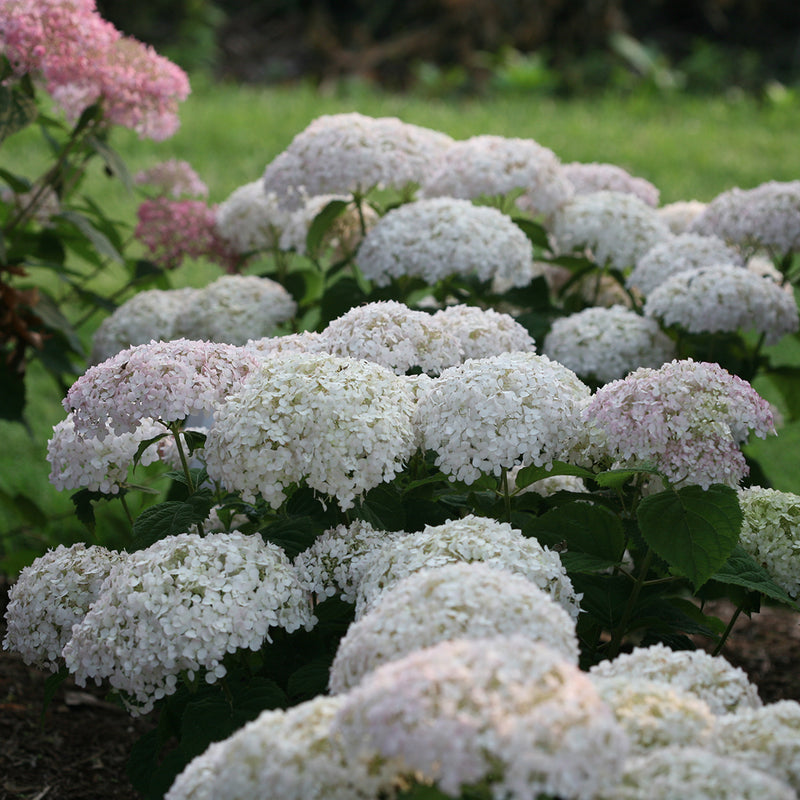 Invincibelle Wee White hydrangea blooms showing the soft blush pink color they take on when they first begin to open.