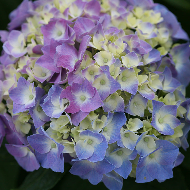 Closeup of the blue and purple mophead bloom of Let's Dance Blue Jangles bigleaf hydrangea.