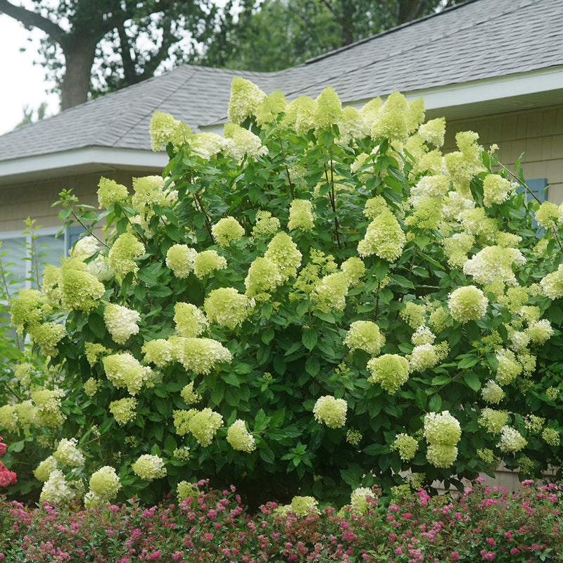 An impressive specimen of Limelight hydrangea covered in green cone-shaped blooms.