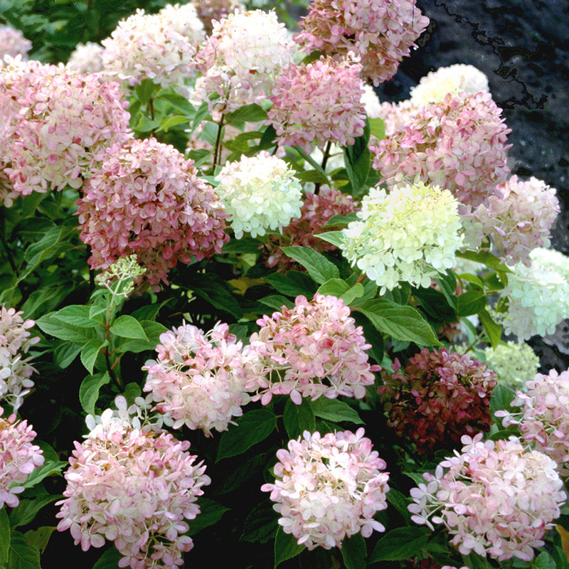 The flowers of Limelight hydrangea turn pink and burgundy in late summer.