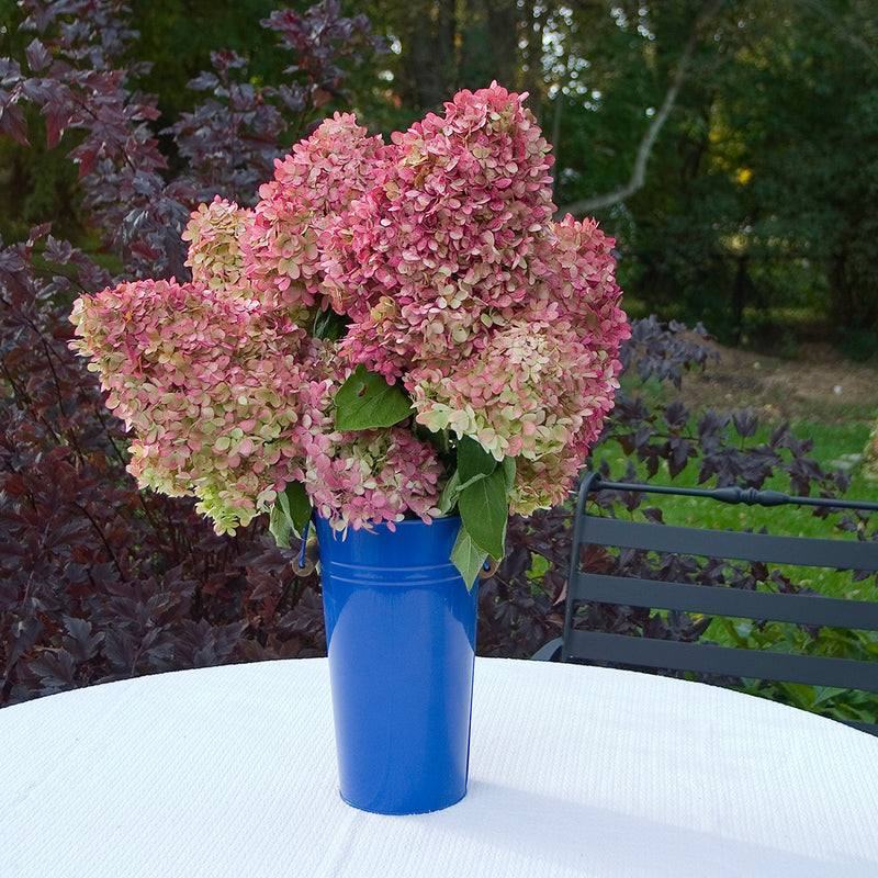 Several pink and red blooms of Limelight hydrangea arranged in a cobalt blue metal vase.