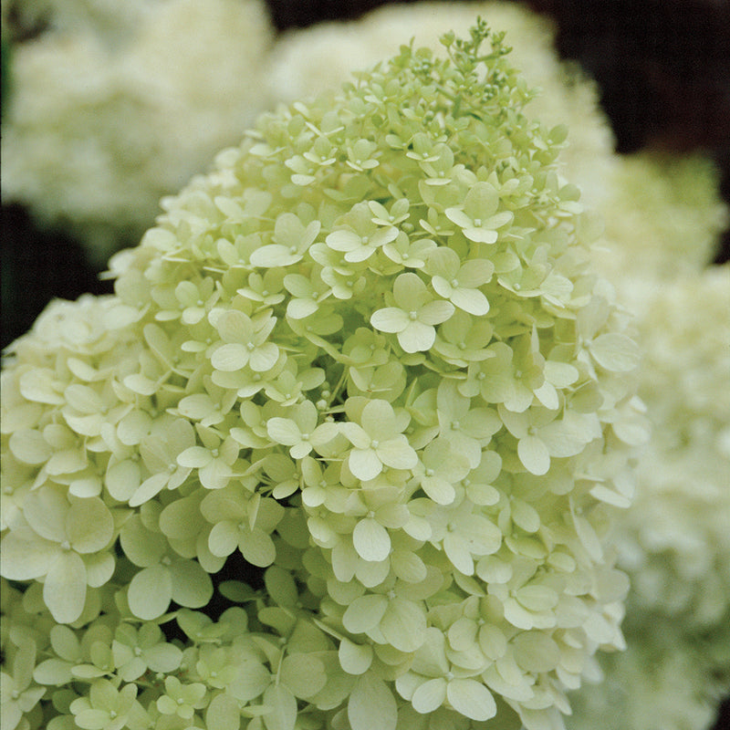 A closeup look of jade green florets that make up the bloom of Limelight hydrangea.