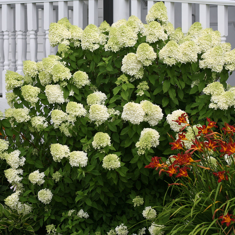 An established planting of Limelight hydrangea with green cone-shaped blooms.