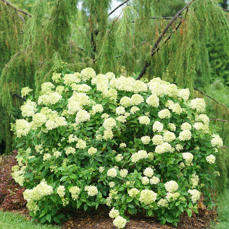Little Lime® Panicle Hydrangea reaches just three to five feet tall and wide, forming a nice round flower covered mound in the landscape.