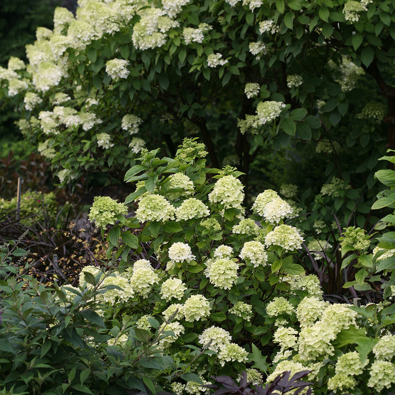 Little Lime® Panicle Hydrangea blooms in front of Limelight hydrangea so their habits and sizes can be compared.