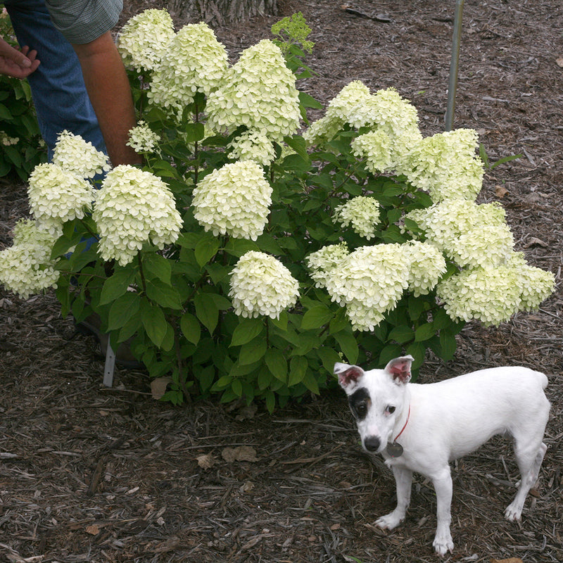 A small Jack Russell terrier dog stands next to Little Lime® Panicle Hydrangea to show its petite stature.
