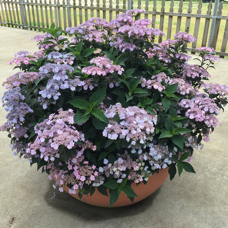 A large scpecimen of Tiny Tuff Stuff Mountain Hydrangea growing in a big decorative container and covered with soft blue blooms.