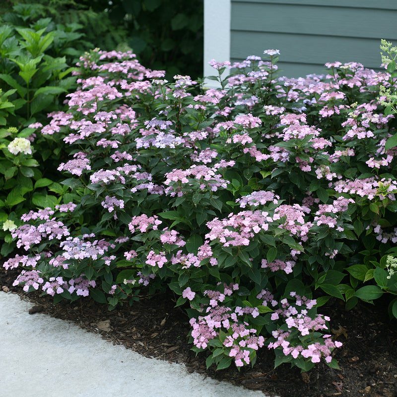 A specimen of Tiny Tuff Stuff Mountain Hydrangea growing alongside a house and covered in pink and purple blooms.