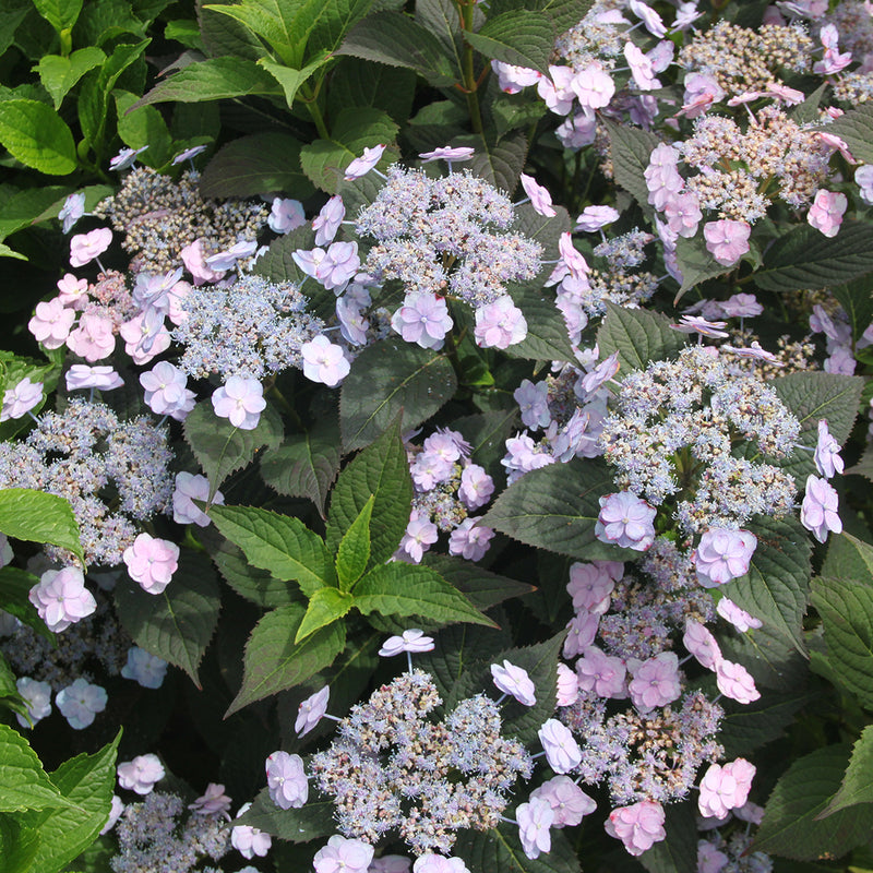 Several flowers on Tiny Tuff Stuff Mountain Hydrangea  showing their purple blue coloration.