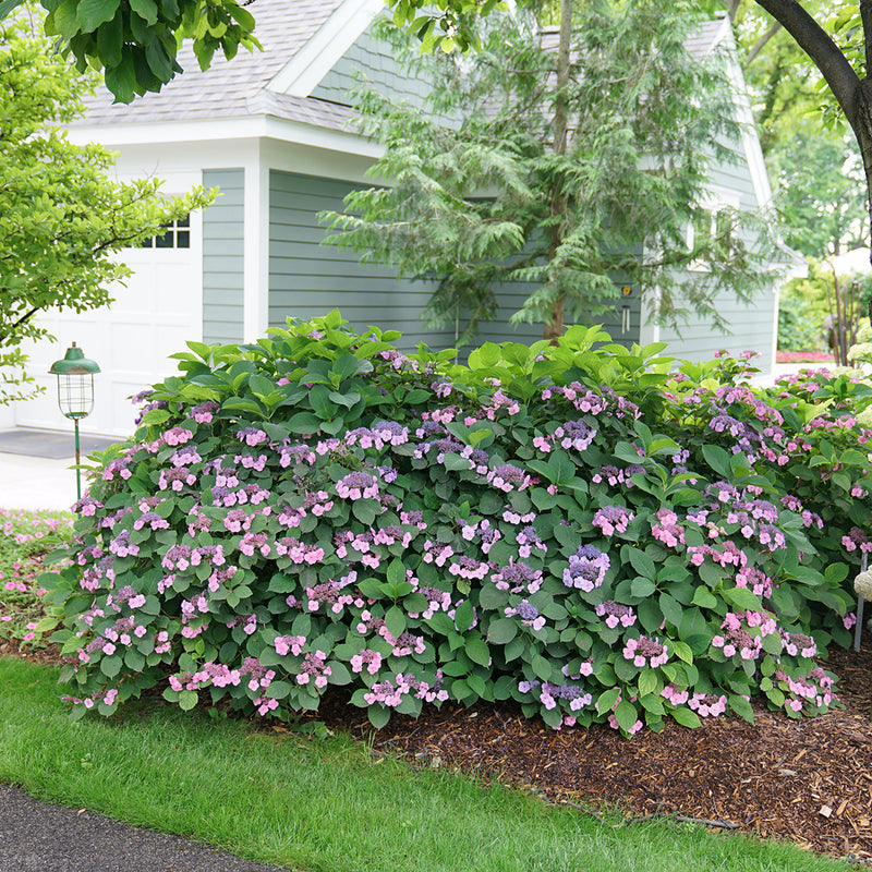Tuff Stuff Mountain Hydrangea blooms in a landscape under a magnolia, and has beautiful pink and purple blooms.