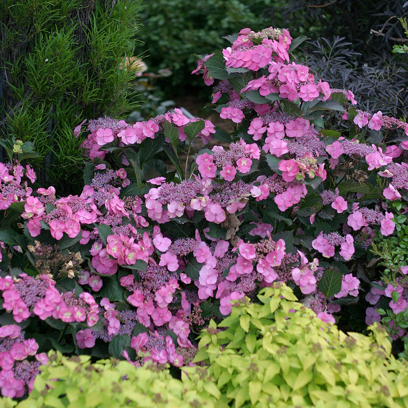 A closer look at the deep pink lacecap blooms of Tuff Stuff Mountain Hydrangea.