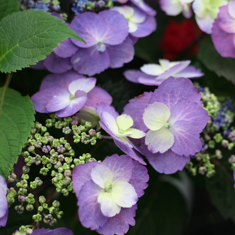 The sterile florets of Tuff Stuff Mountain Hydrangea can be a nice purple if soil conditions are right for it to develop.