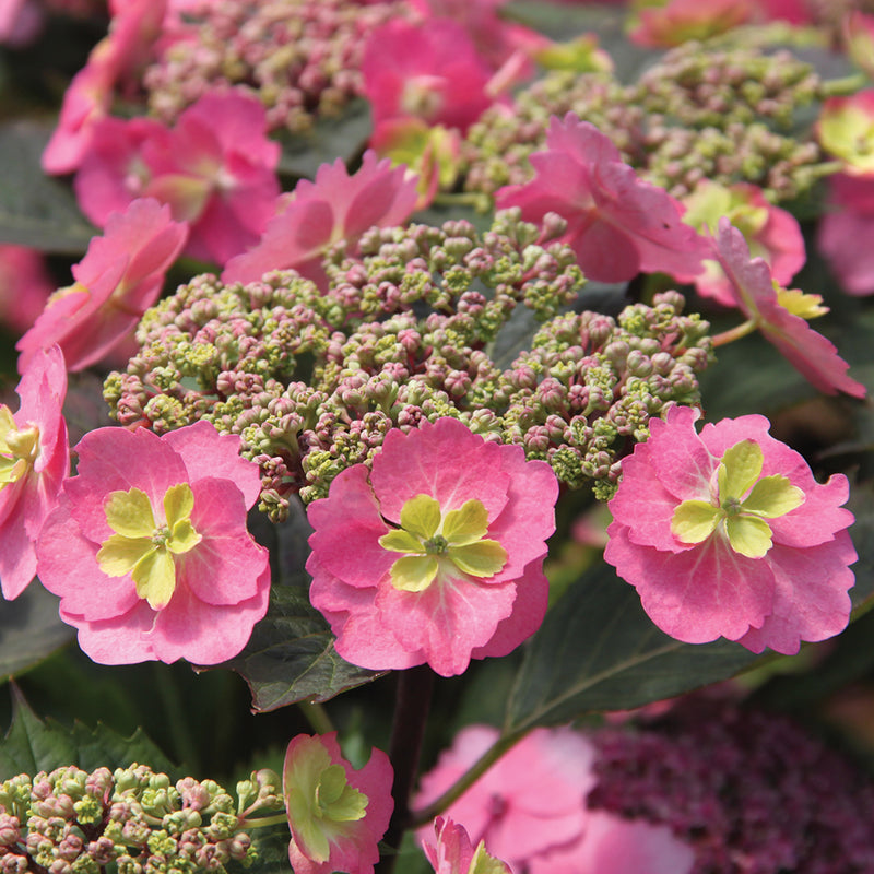 The sterile florets of Tuff Stuff Mountain Hydrangea have a frilly green center surrounded by pink sepals.