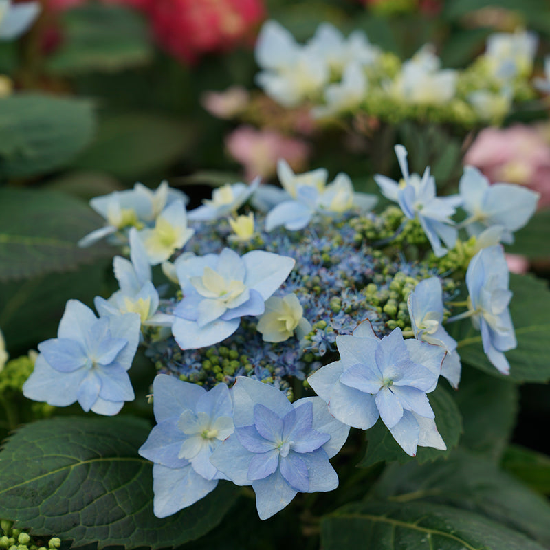Tuff Stuff Ah-Ha mountain hydrangea has blue flowers with sterile florets that resemble waterlilies.