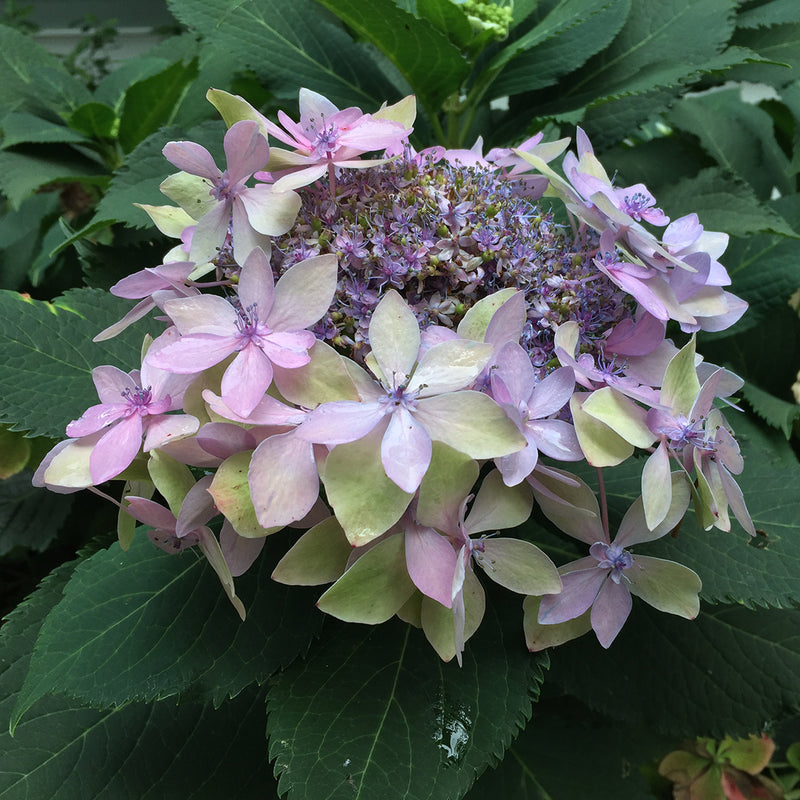 In this bloom on Tuff Stuff Ah-Ha mountain hydrangea, the florets are purple and pink.