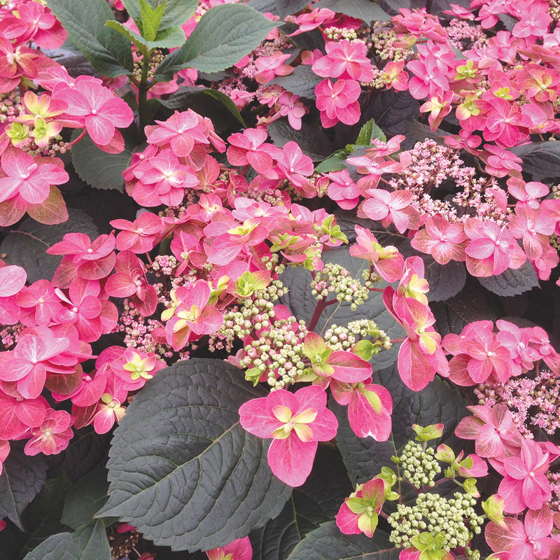 the large flowers of Tuff Stuff Red Mountain Hydrangea contrast with the dark green foliage.