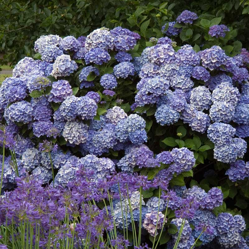 A mature specimen of Endless Summer hydrangea covered in purple blue mophead blooms.