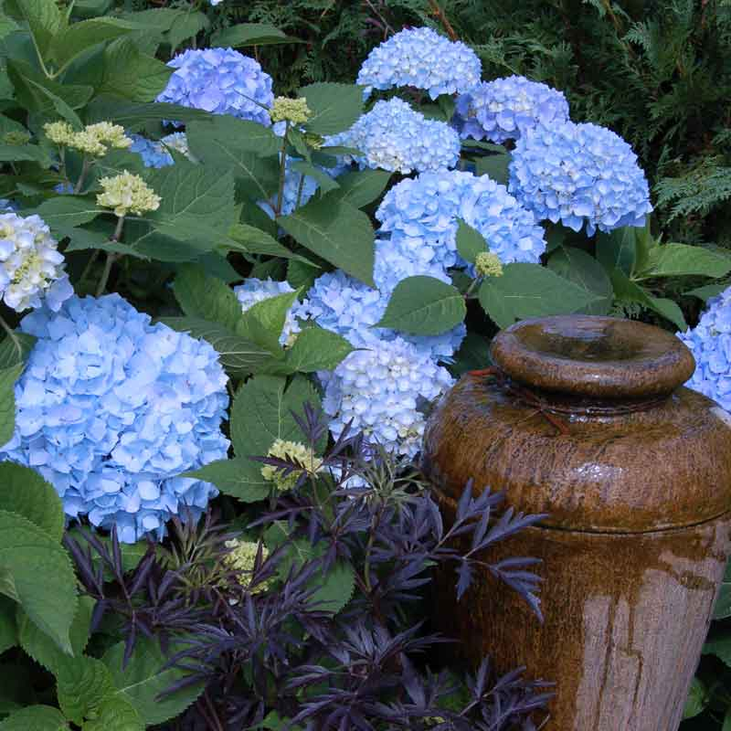 Endless Summer hydrangea blooms alongside Black Lace elderberry and a ceramic pot made into a fountain.