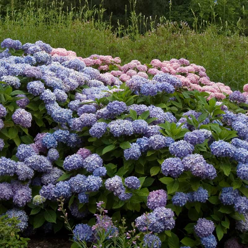 A large planting of Endless Summer hydrangea covered in purple blue flowers.