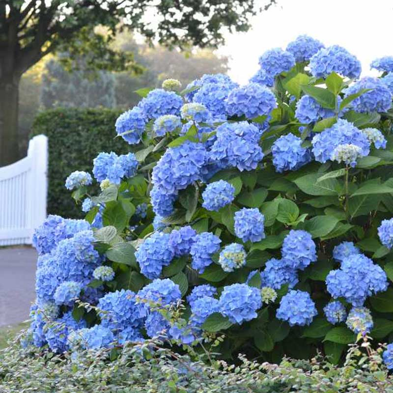 Endless Summer hydrangea covered in blue mophead blooms in front of a white gate.