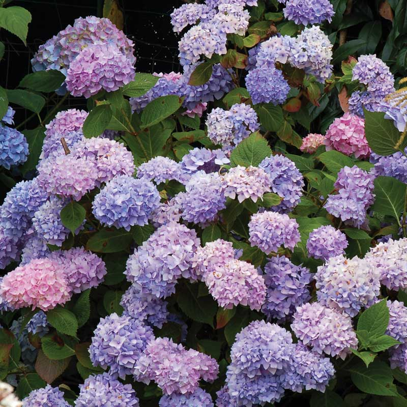 On this Endless Summer hydrangea a range of pink, purple, and blue tones can be seen in the flowers.