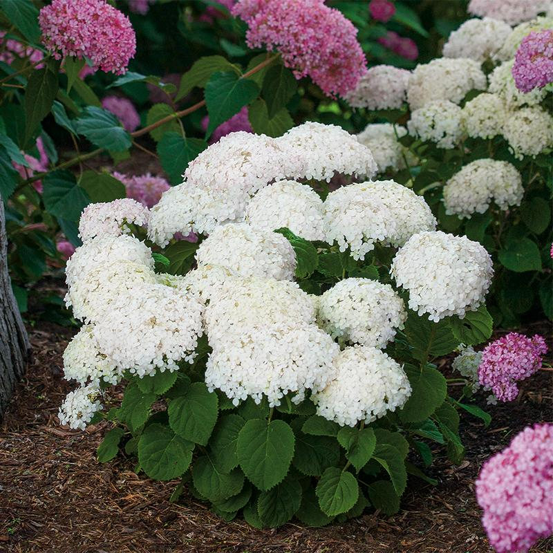 Invincibelle Wee White is a dwarf, improved version of Annabelle hydrangea.