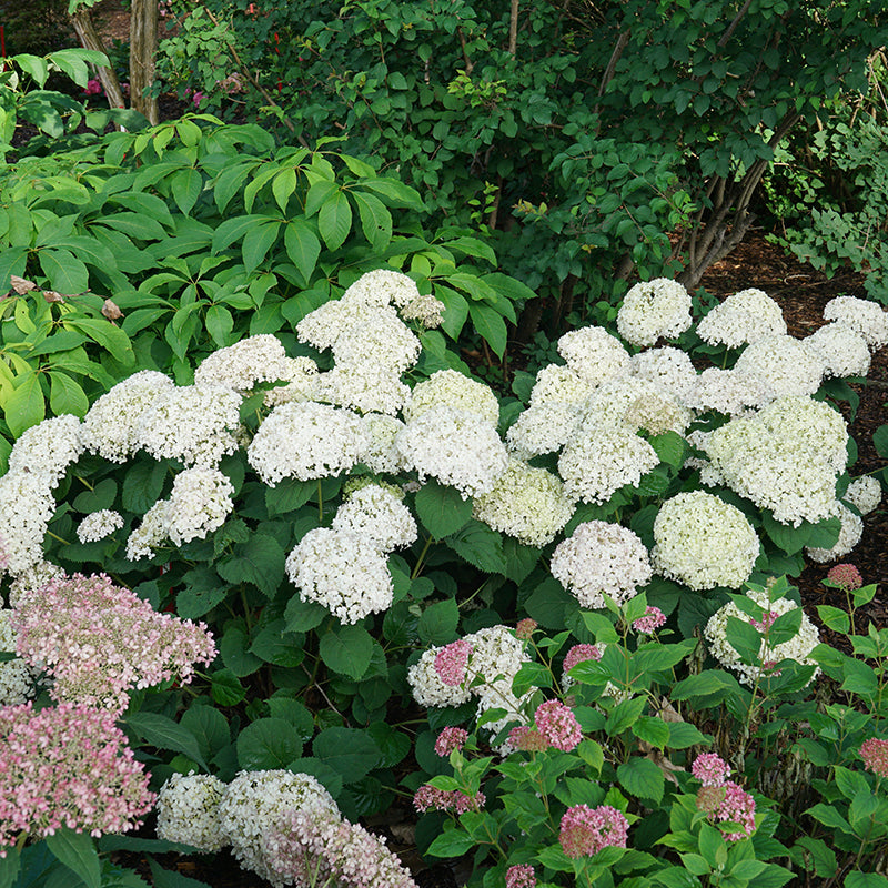 Three Invincibelle Wee White hydrangeas blooming in a lightly shaded spot in a garden.