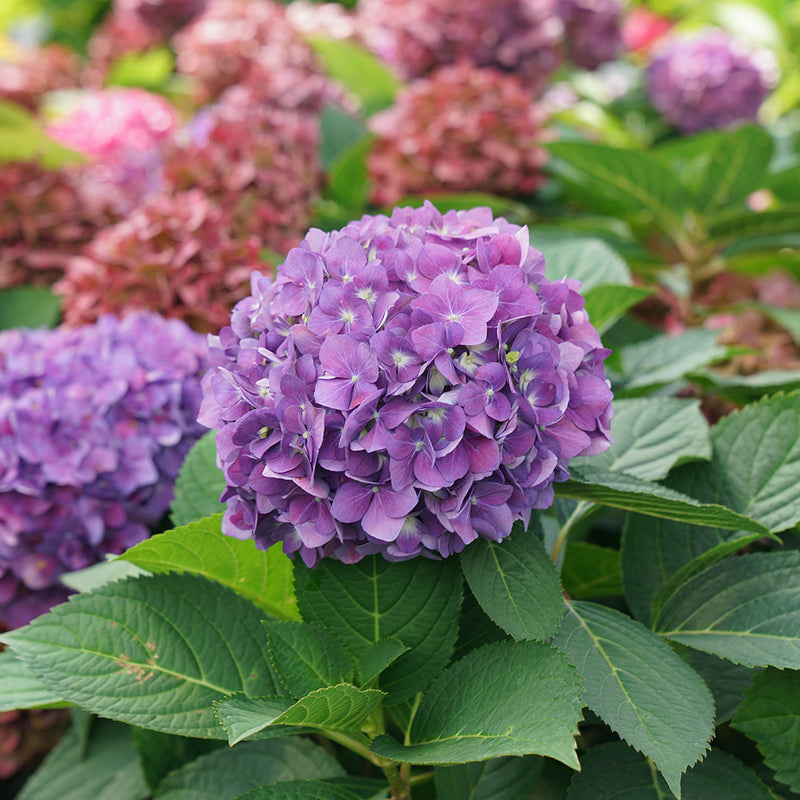 A large purple mophead flower of Let's Dance Arriba reblooming bigleaf hydrangea.