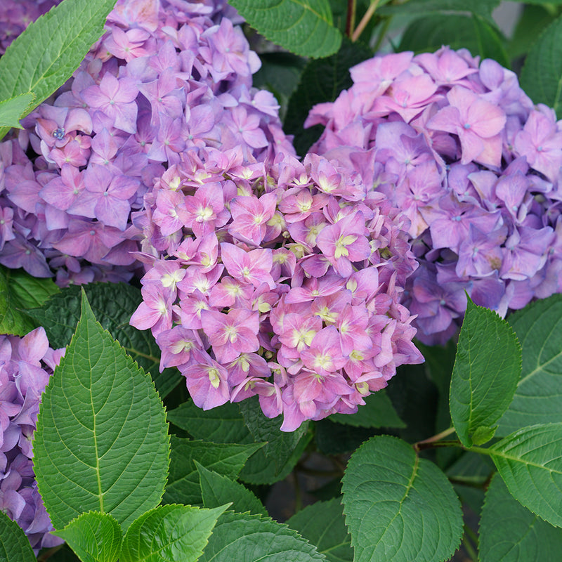 Three large purple mophead blooms on Let's Dance Arriba reblooming bigleaf hydrangea.