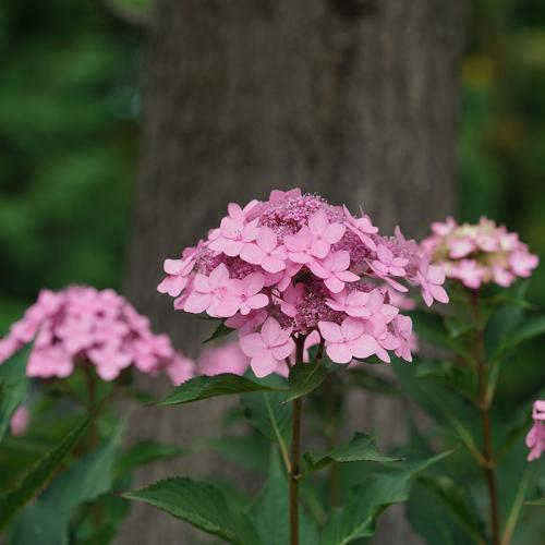Let's Dance Can Do!™ Bigleaf Hydrangea flowers are soft pink or lavender, depending on soil.
