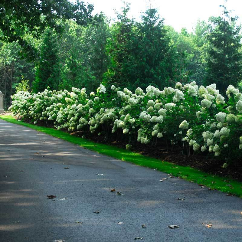 Limelight Panicle Hydrangea is a best seller and creates the perfect long flowering hedge