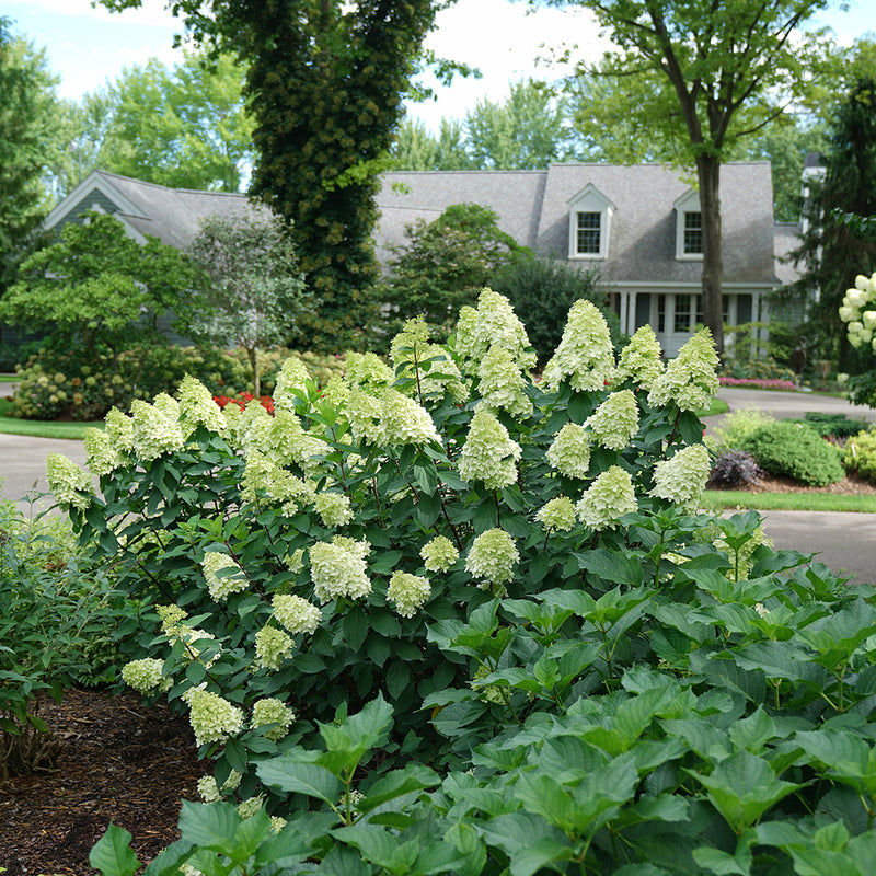 A specimen of Limelight Prime panicle hydrangea planted in front of a house.