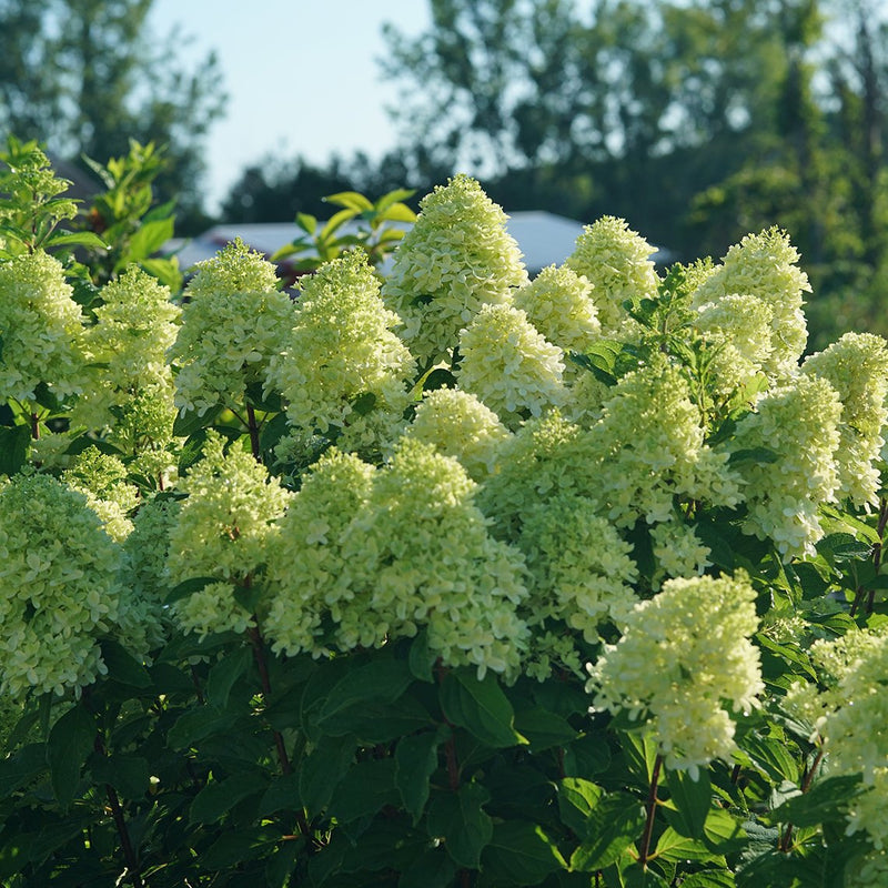 New and improved Limelight Prime features large creamy green flowers in summer.