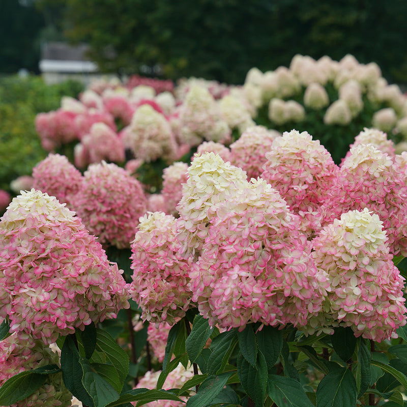 The blooms of Limelight Prime panicle hydrangea age from green-white to a vivid bright pink.