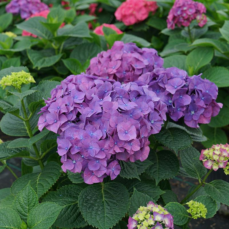 Let's Dance Big Band™ Bigleaf Hydrangea has extra-large saturated pink and purple color blooms.