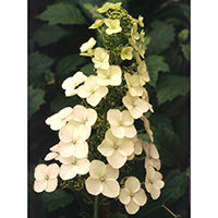 A large white lacecap flower of Alice oakleaf hydrangea.