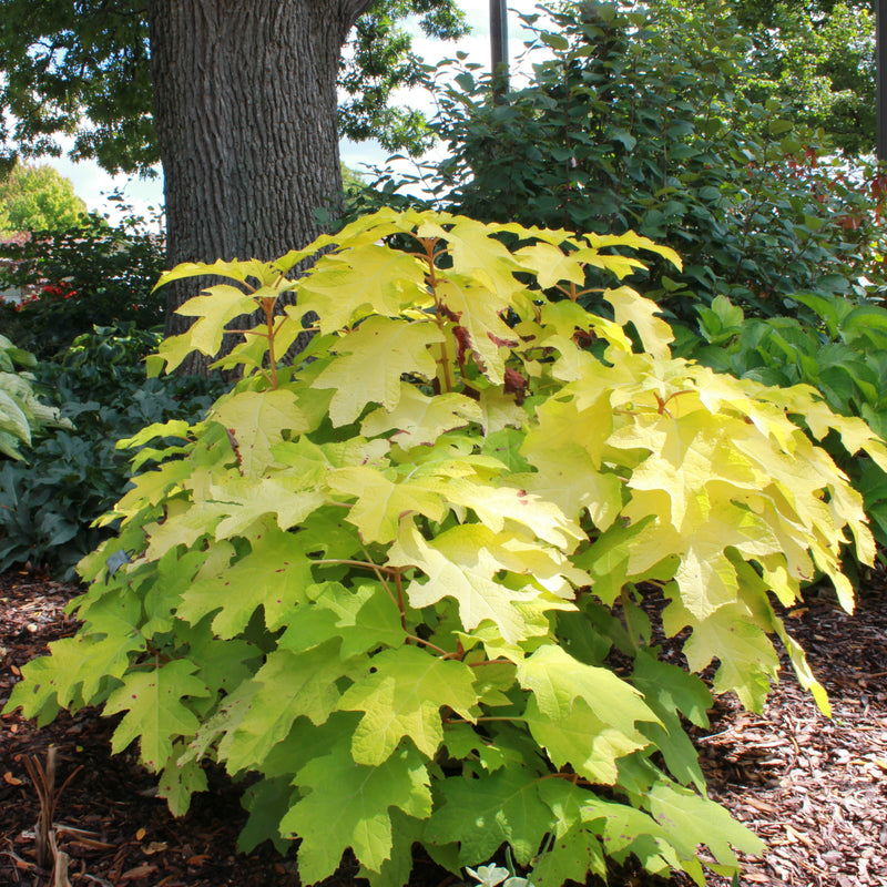 Little Honey oakleaf hydrangea has bright golden foliage that ages to pleasant chartreuse and brightens up shady spots in the garden.