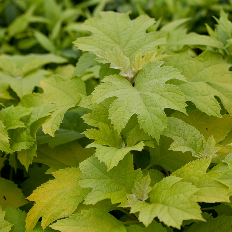 The bright new oak-leaf-shaped growth of Little Honey hydrangea quercifolia.