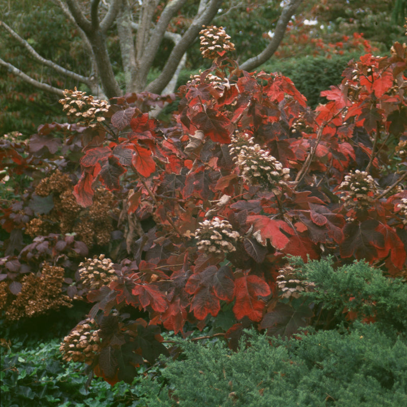 The dramatic deep red and burgundy foliage of Snow Queen oakleaf hydrangea.