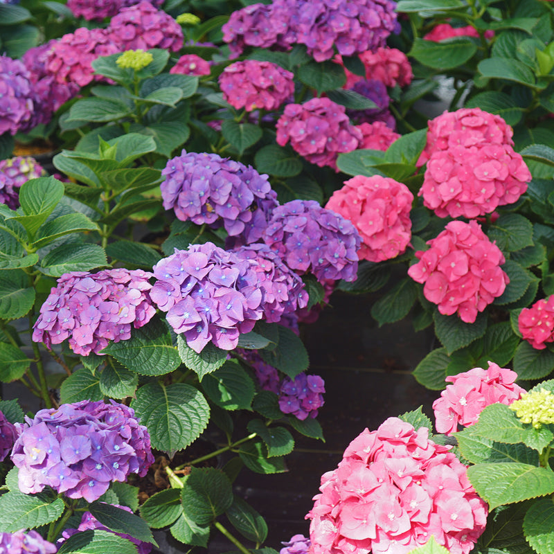 Let's Dance Big Band hydrangea in blooming showing both the purple and pink color variations.