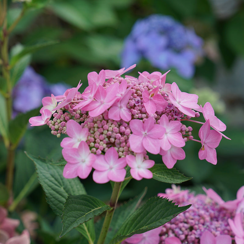 Let's Dance Can Do reblooming hydrangea showing its sterile and fertile florets, which have yet to open.